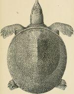 Image of Euphrates Softshell Turtle