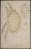Image of Dinogamasus Kramer 1898