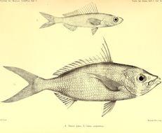 Image of <i>Gerres oblongus</i> Cuvier 1830
