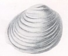 Image of <i>Pisidium clessini</i>