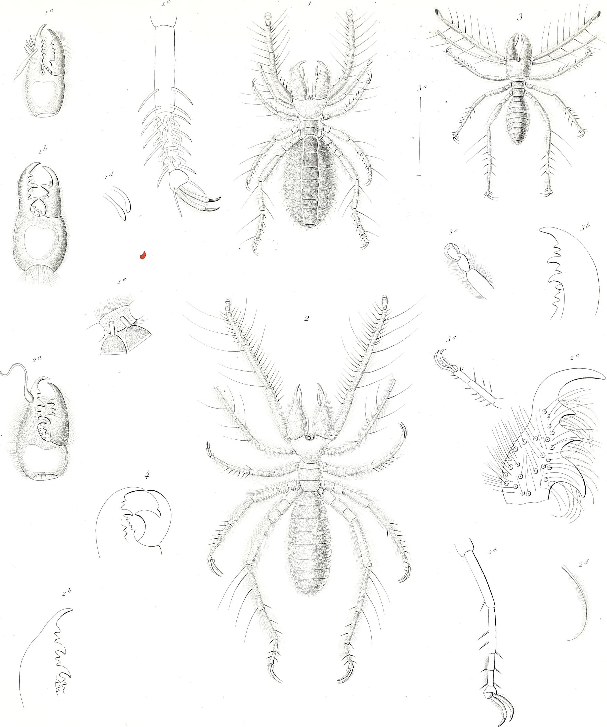 Image of Galeodidae