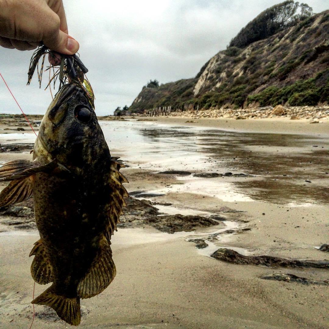Image of Grass rockfish