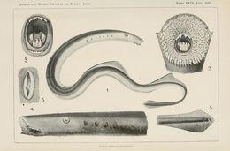 Image of Lamprey