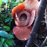 Image of Rafflesia