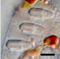 Image of Warnowiaceae