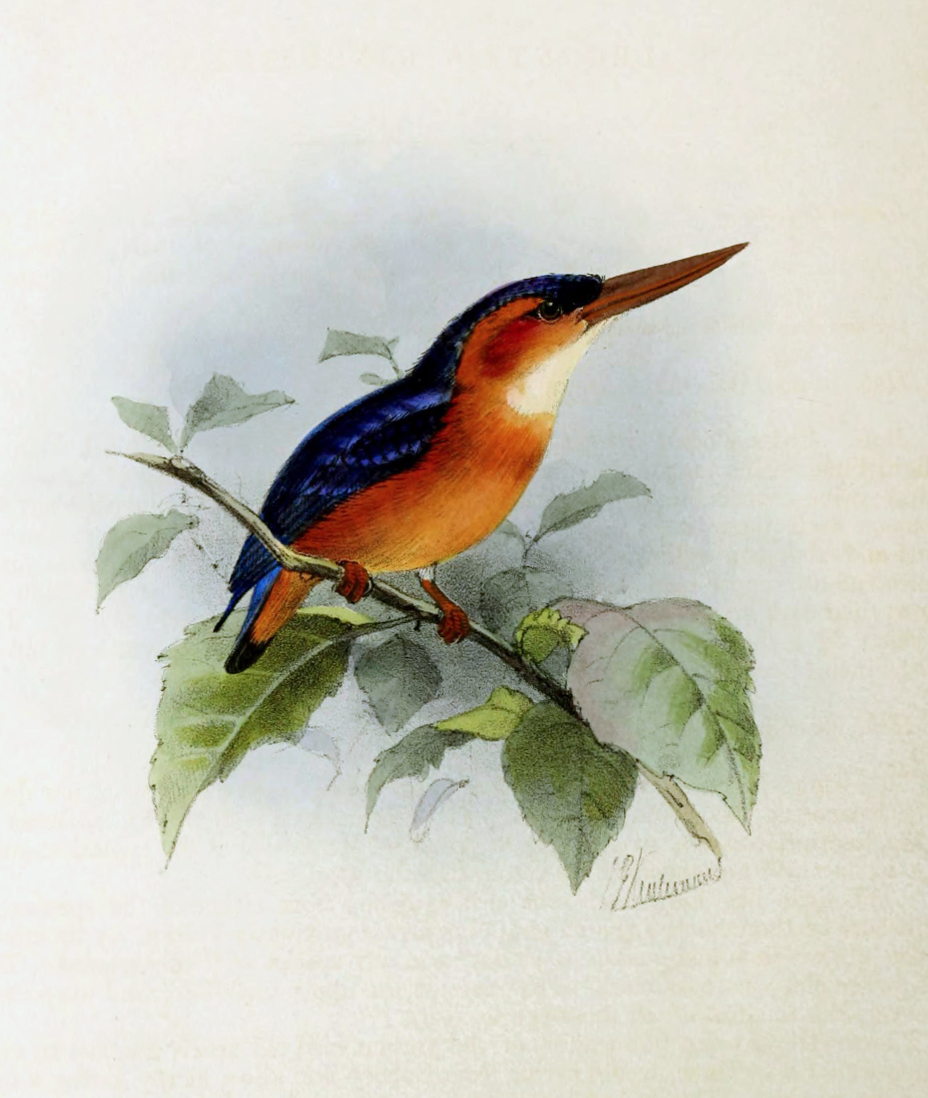 Image of African Dwarf Kingfisher
