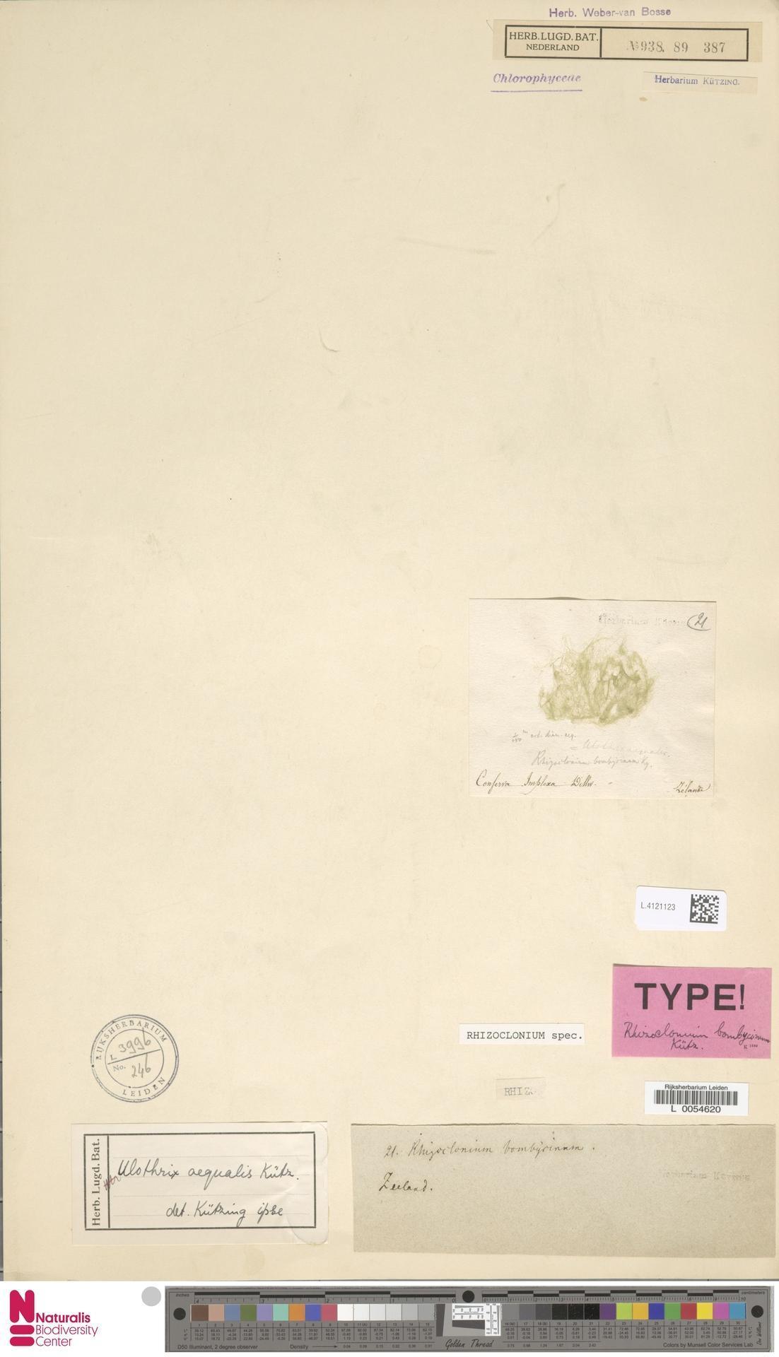 Image of Rhizoclonium