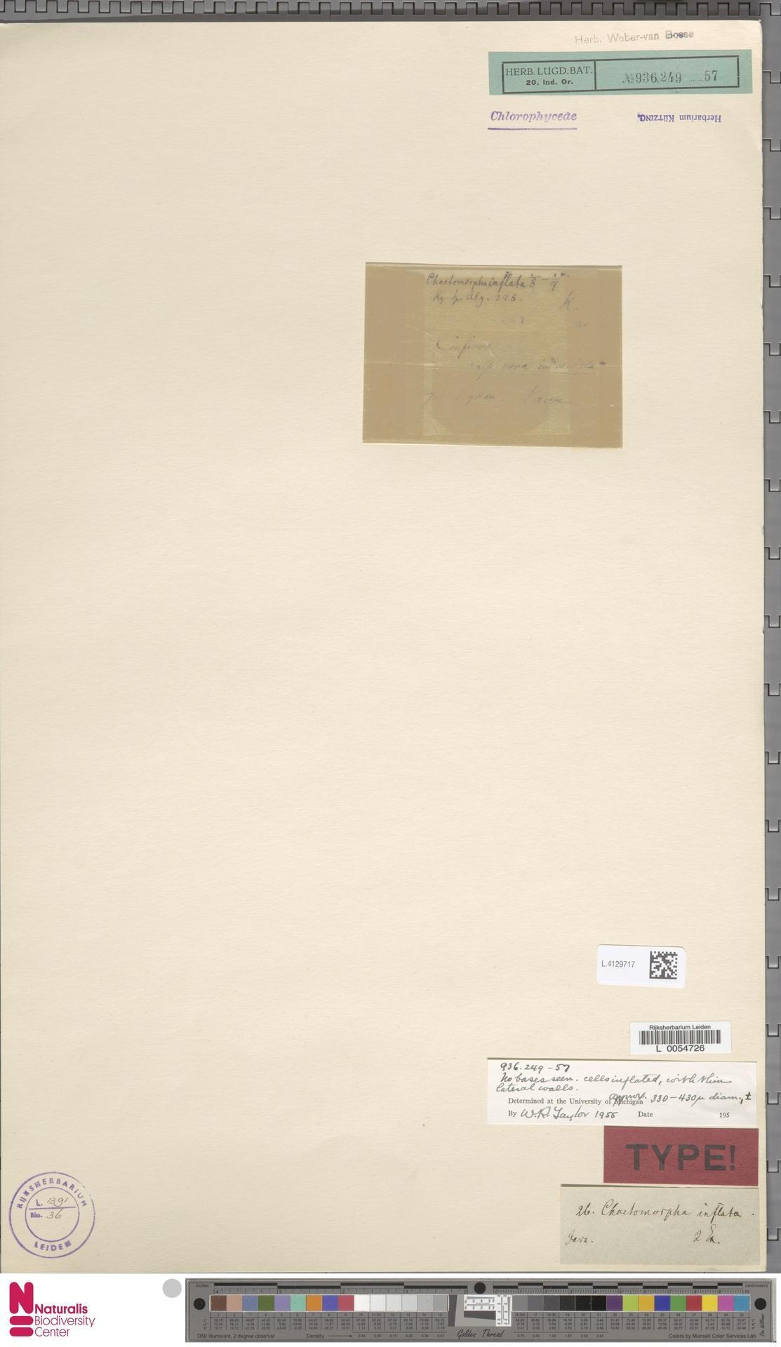 Image of Chaetomorpha