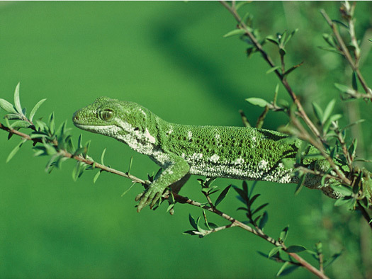 Image of Northern Tree Gecko