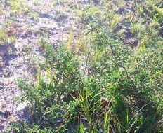 Imagem de <i>Asparagus capensis</i> L.