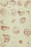 Image of Spirochaetes
