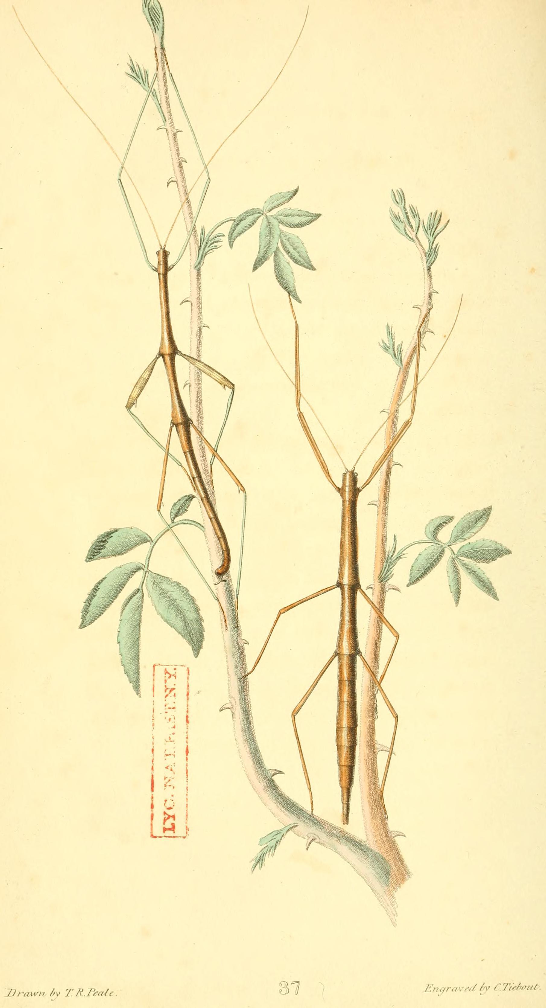 Image of Northern Walkingstick