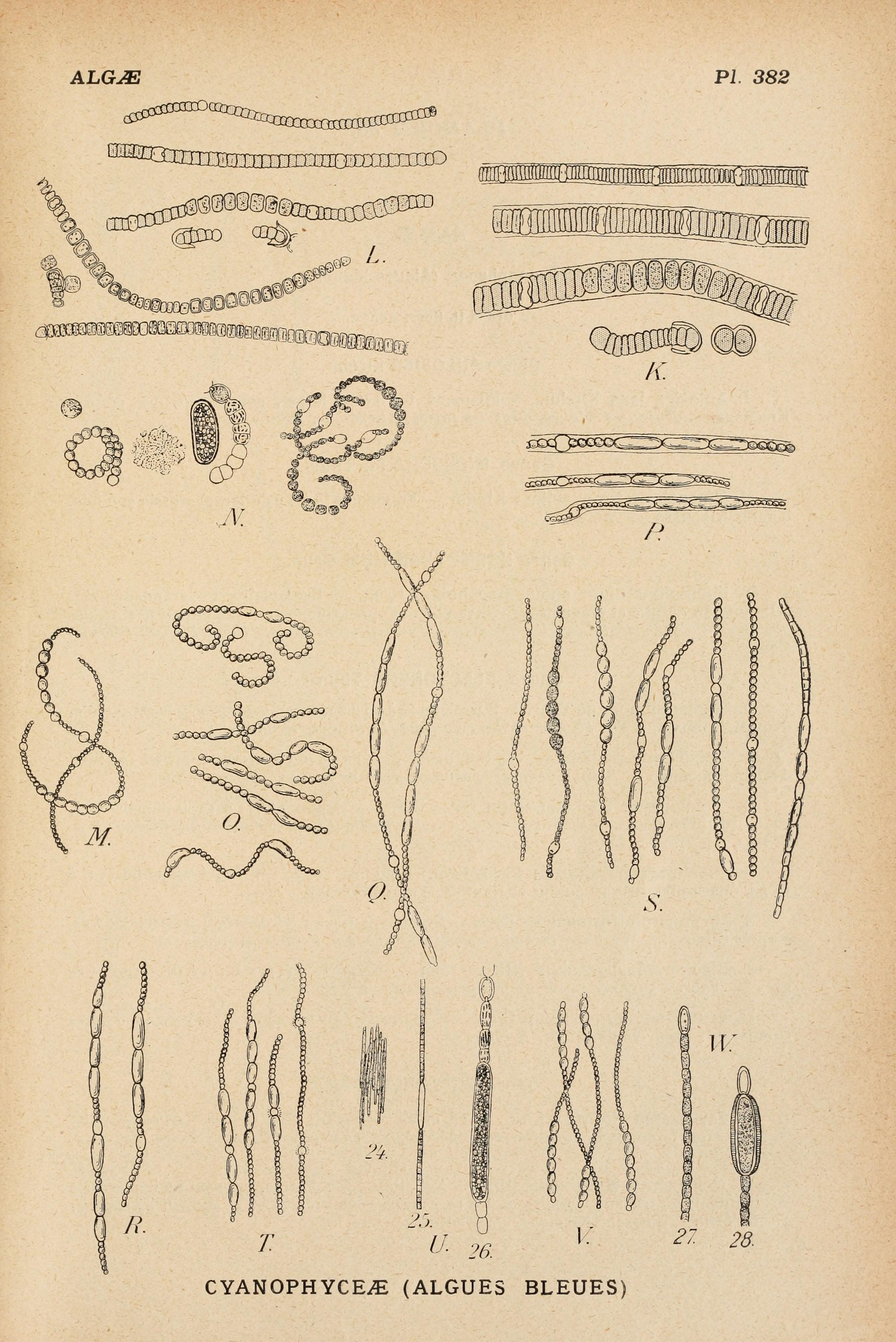 Image of Nodularia