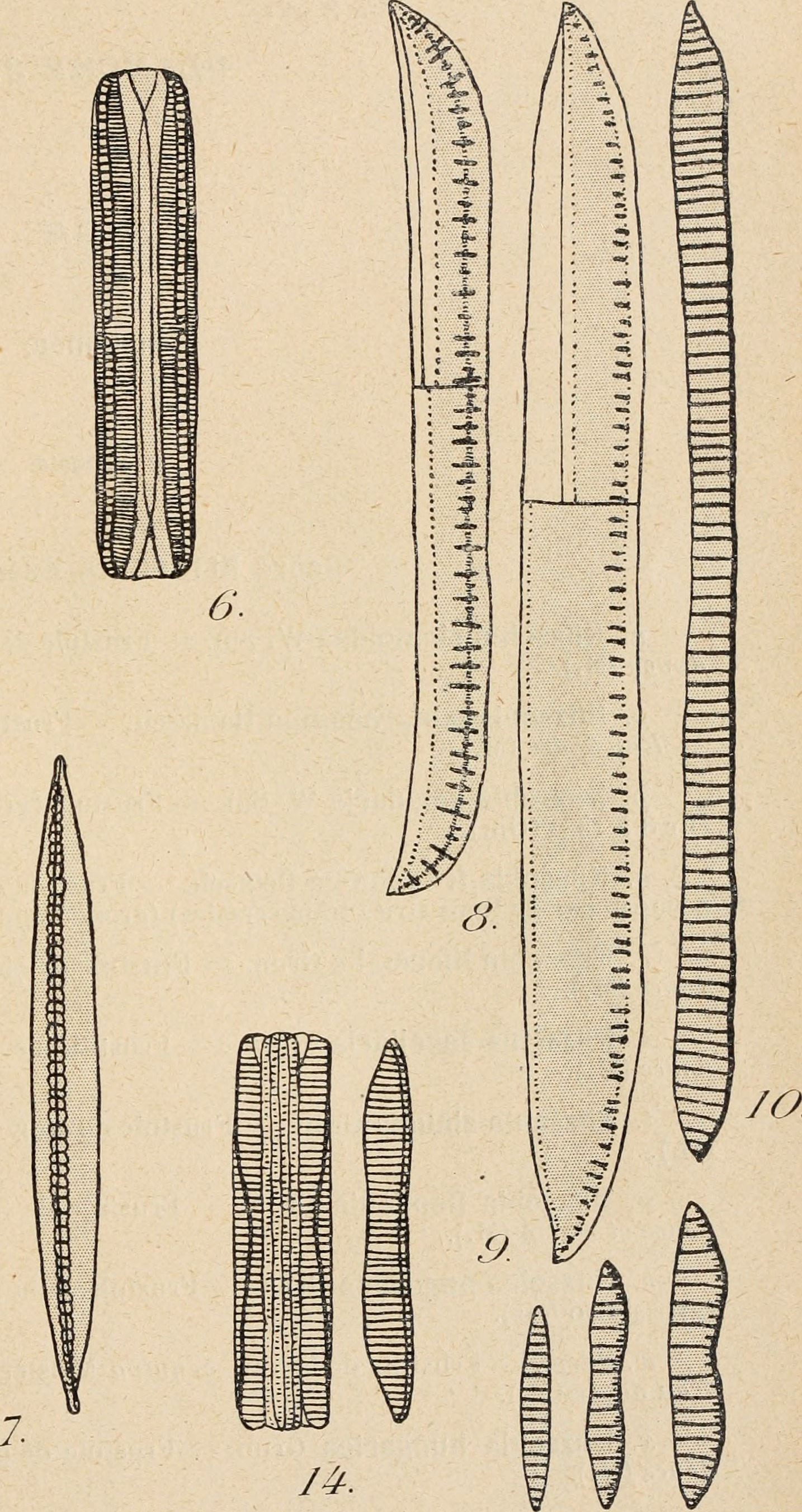 Image of Nitzschia