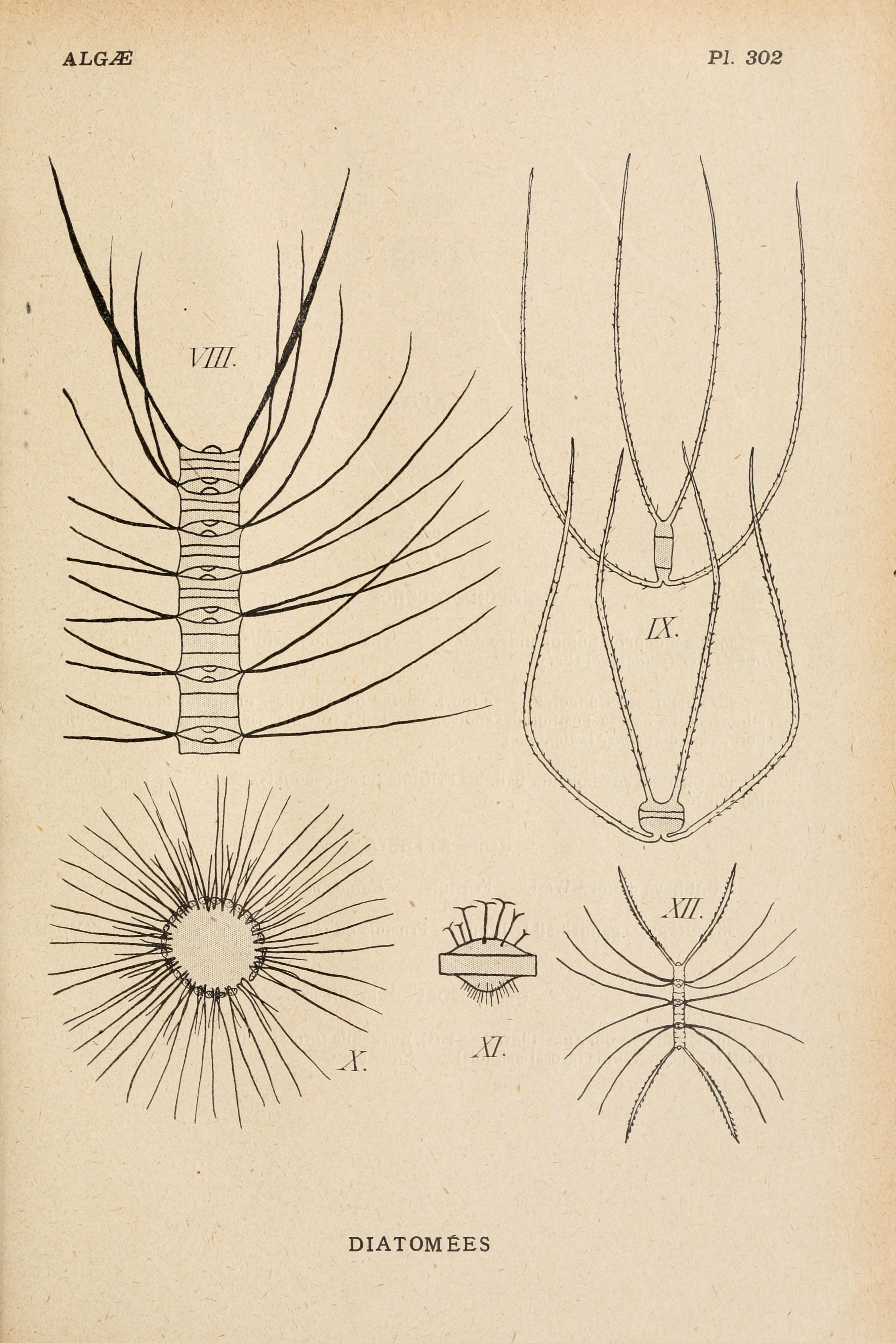 Image of Chaetoceros