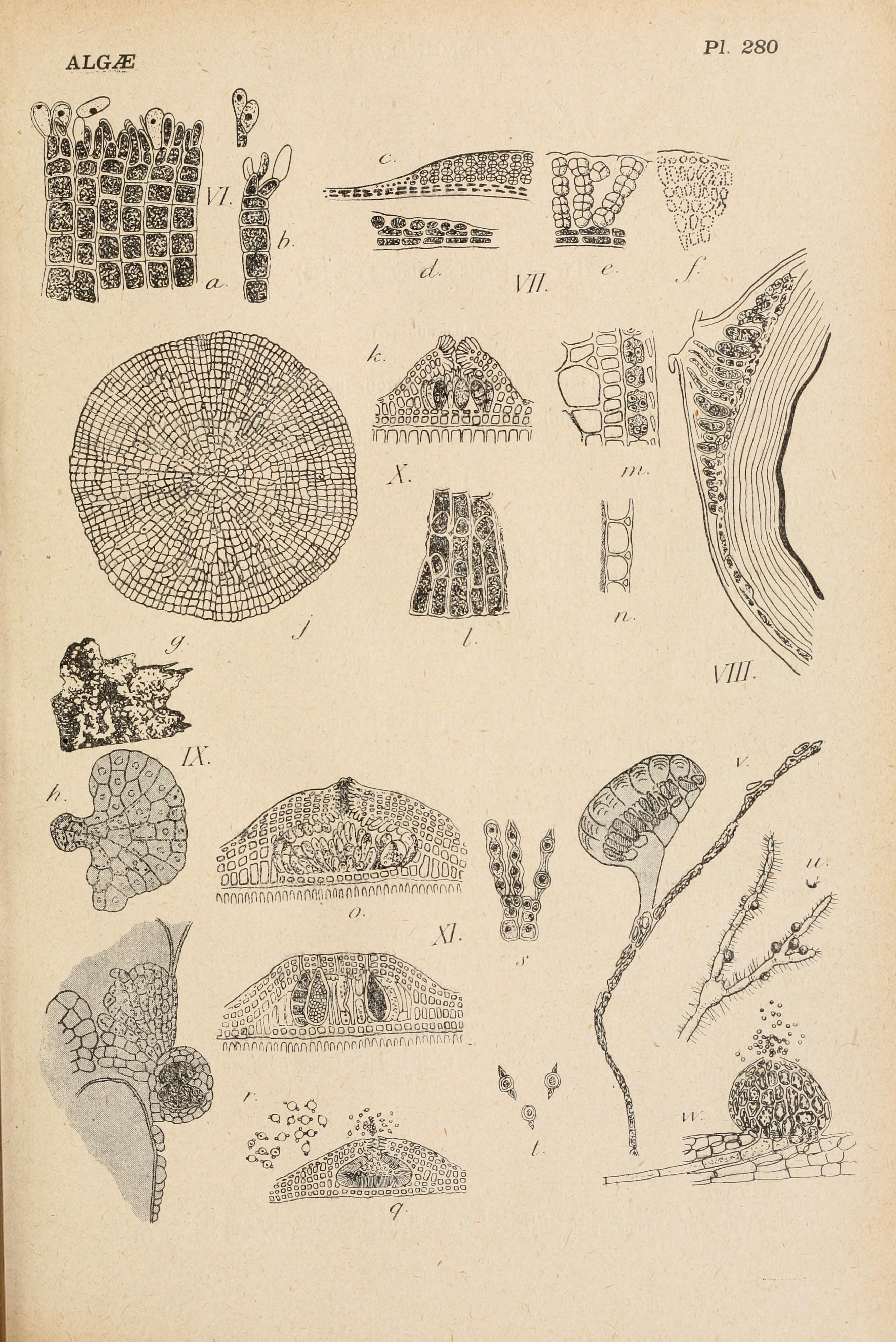 Image of <i>Melobesia membranacea</i>