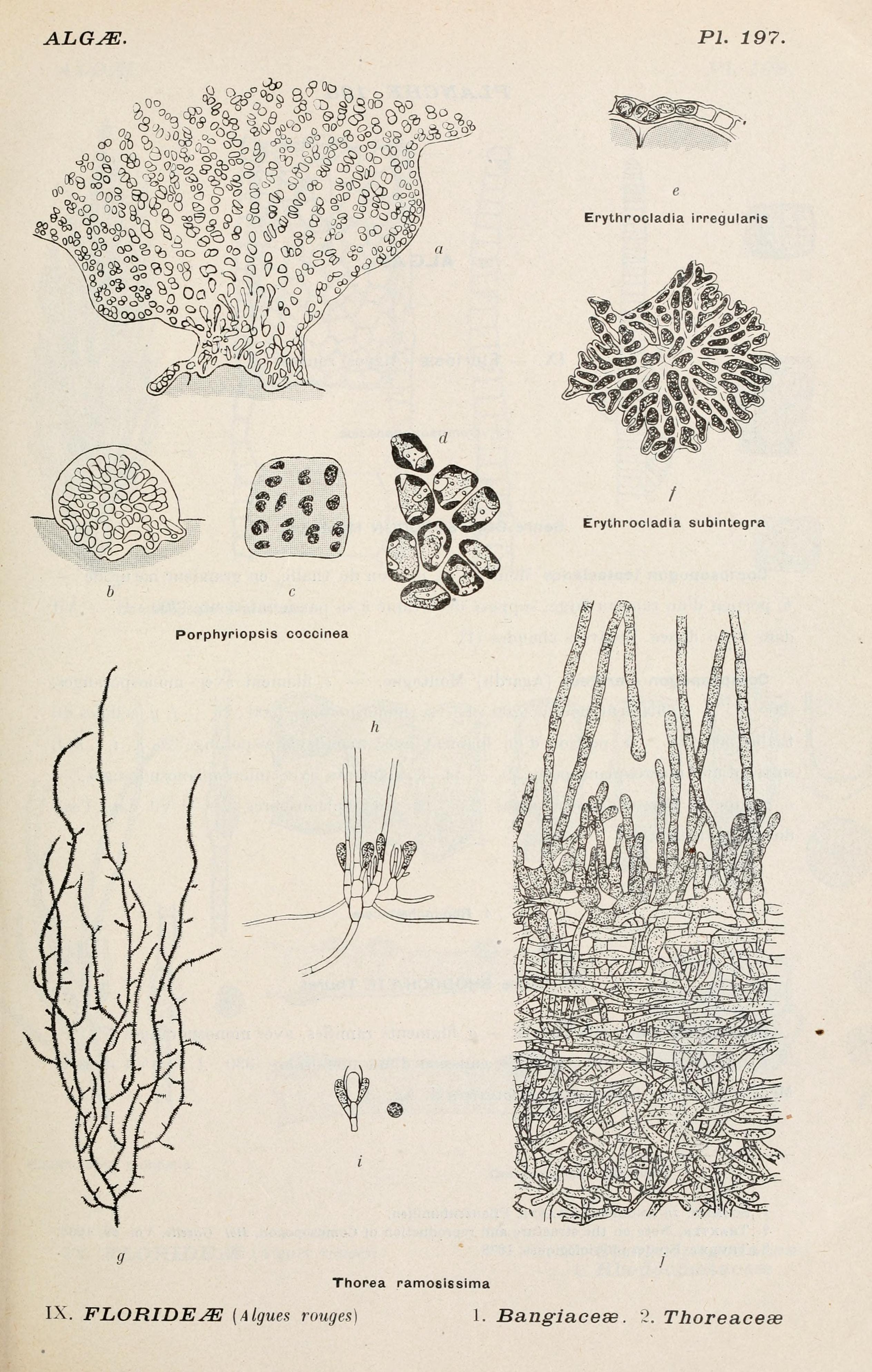 Image of Erythrotrichiaceae