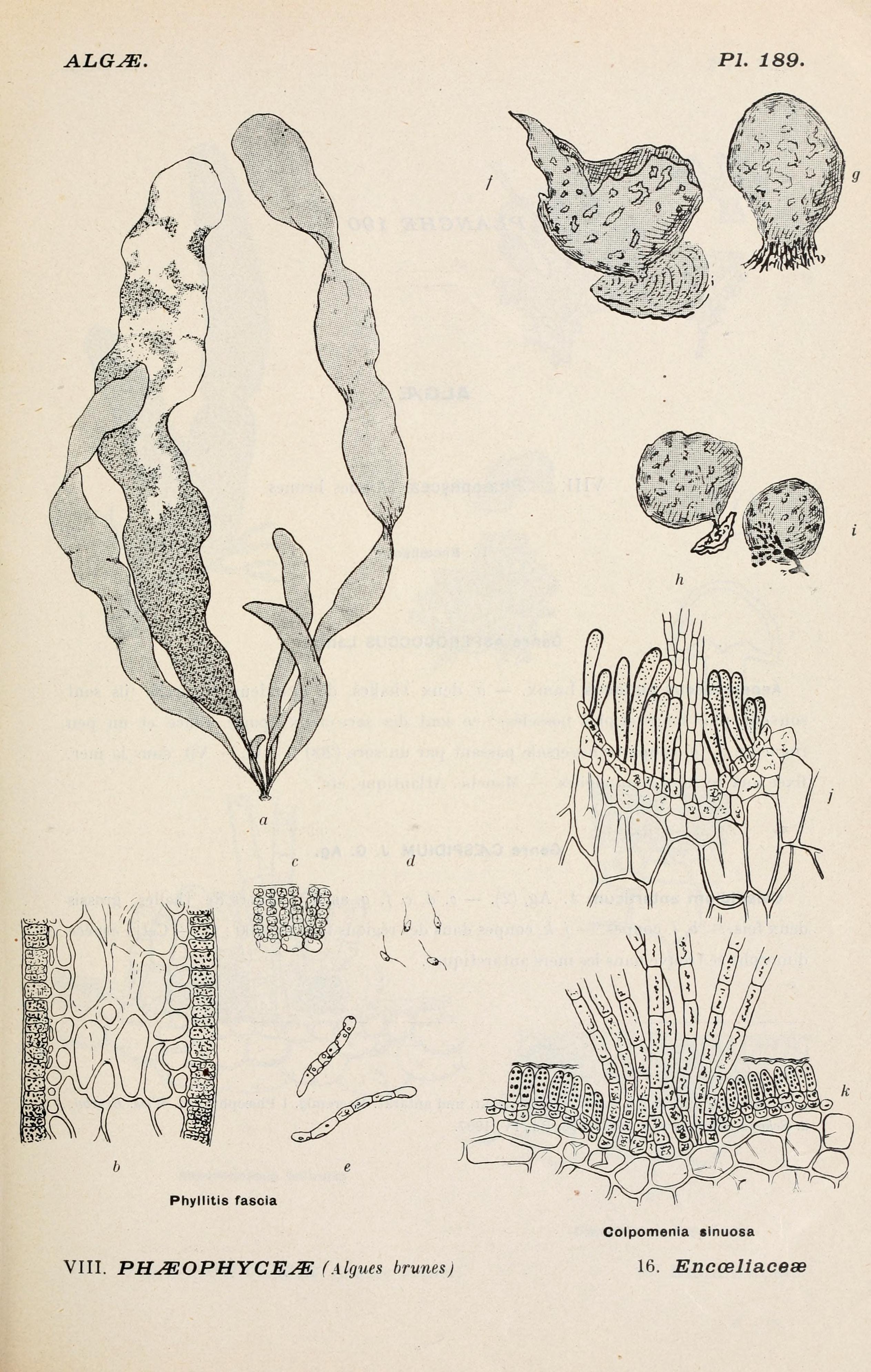 Image of <i>Colpomenia sinuosa</i>
