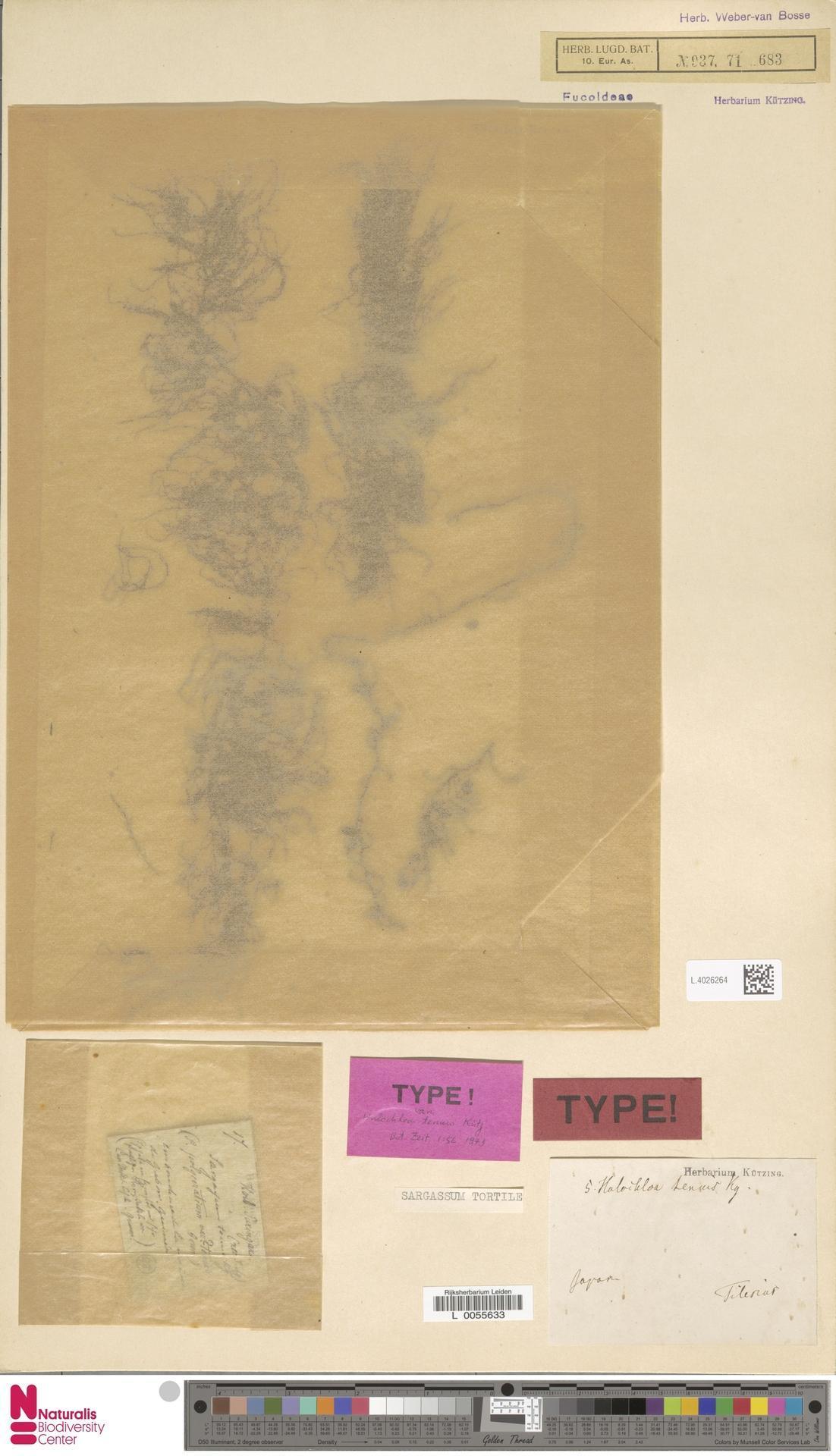 Image of <i>Sargassum siliquastrum</i>