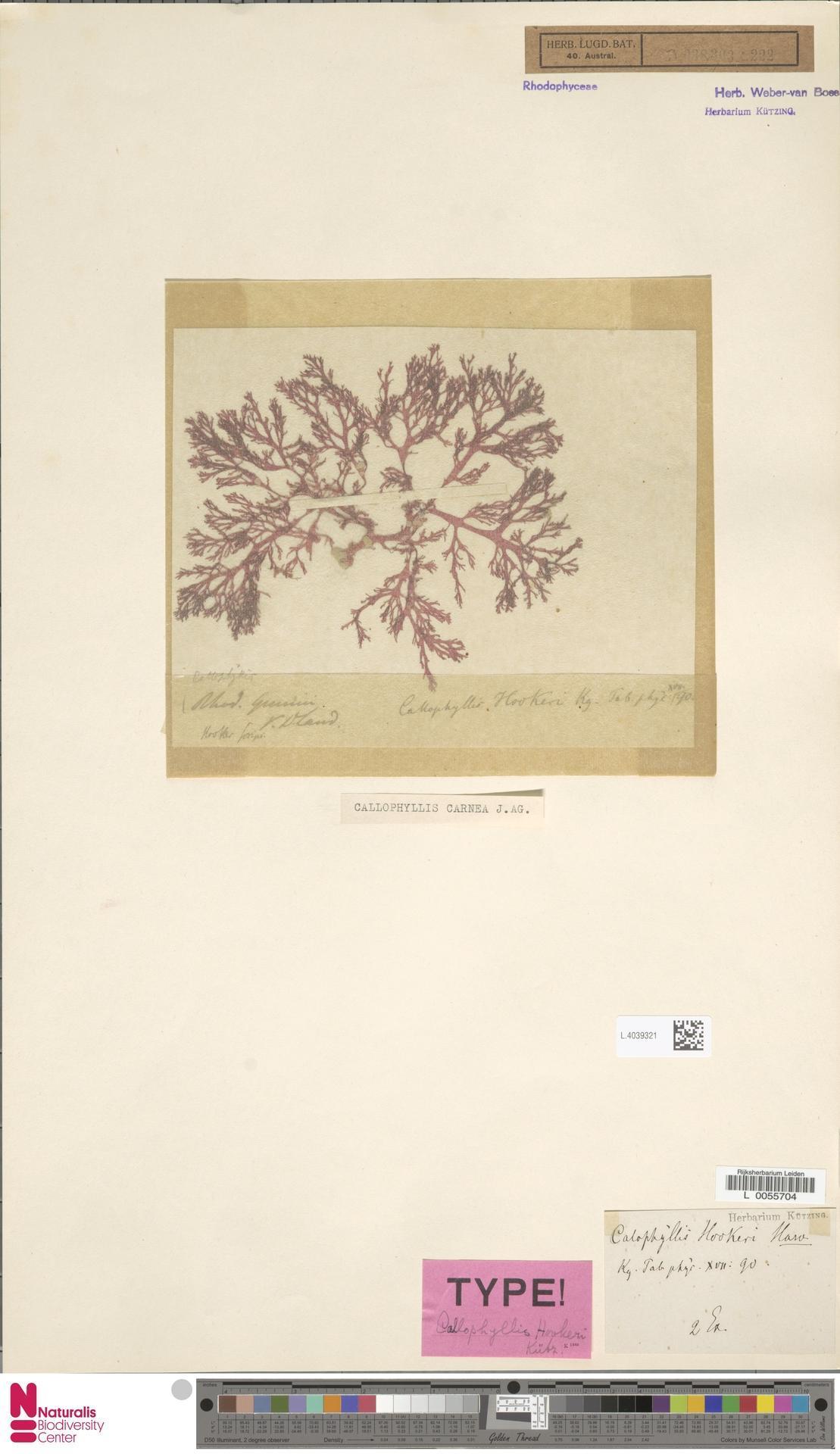 Image of Callophyllis