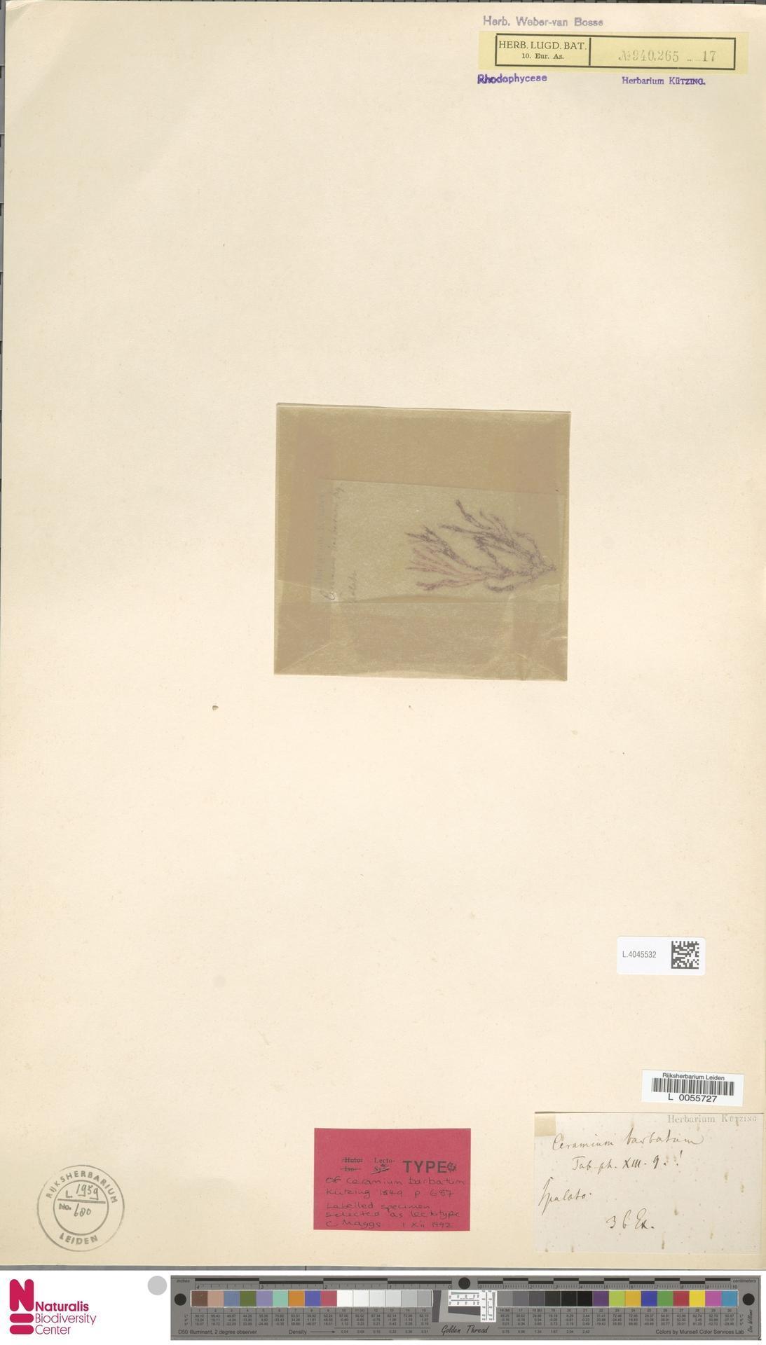Image of Ceramium
