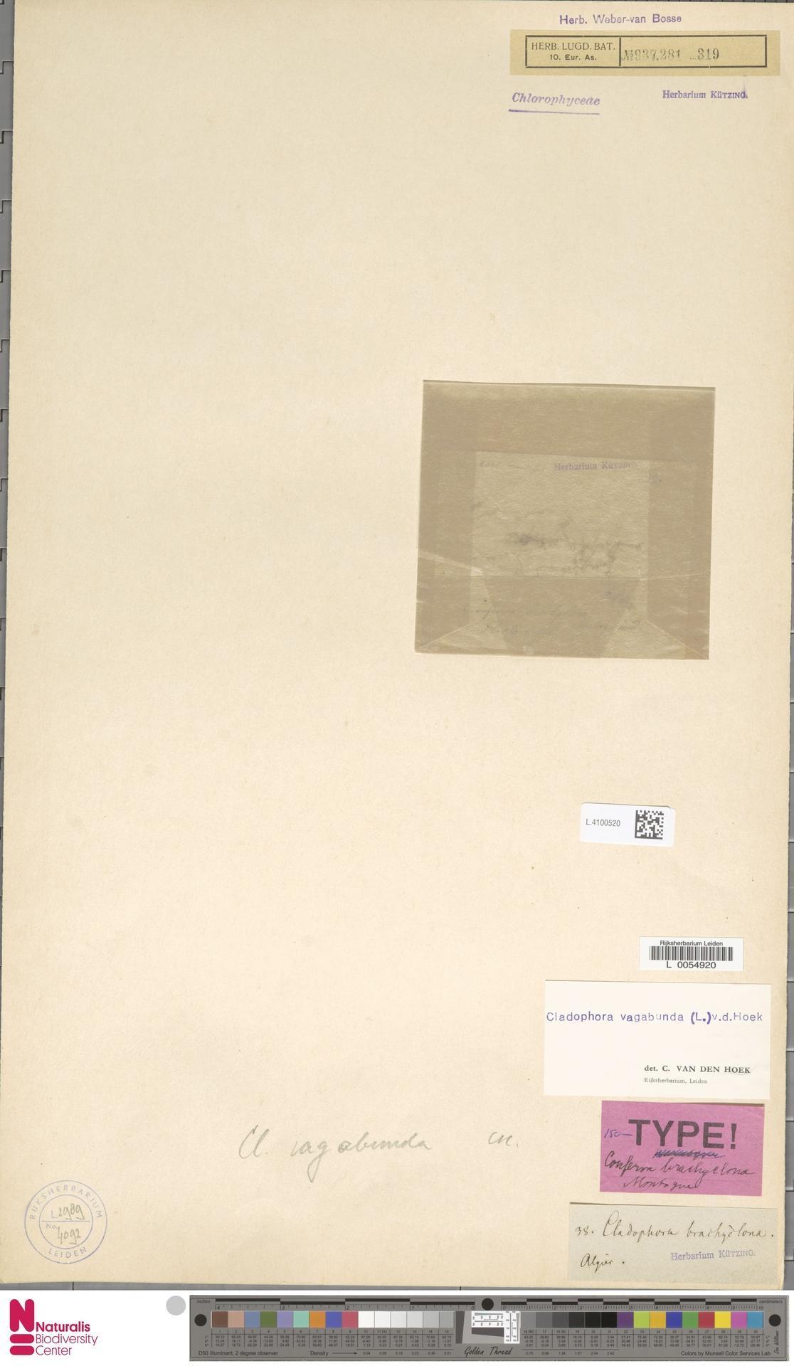 Image of <i>Cladophora vagabunda</i>