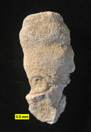Image of calcareous sponges