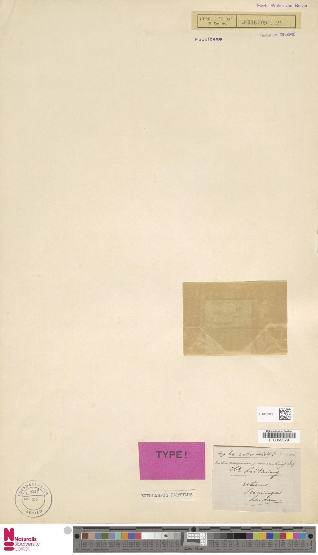 Image of Ectocarpus