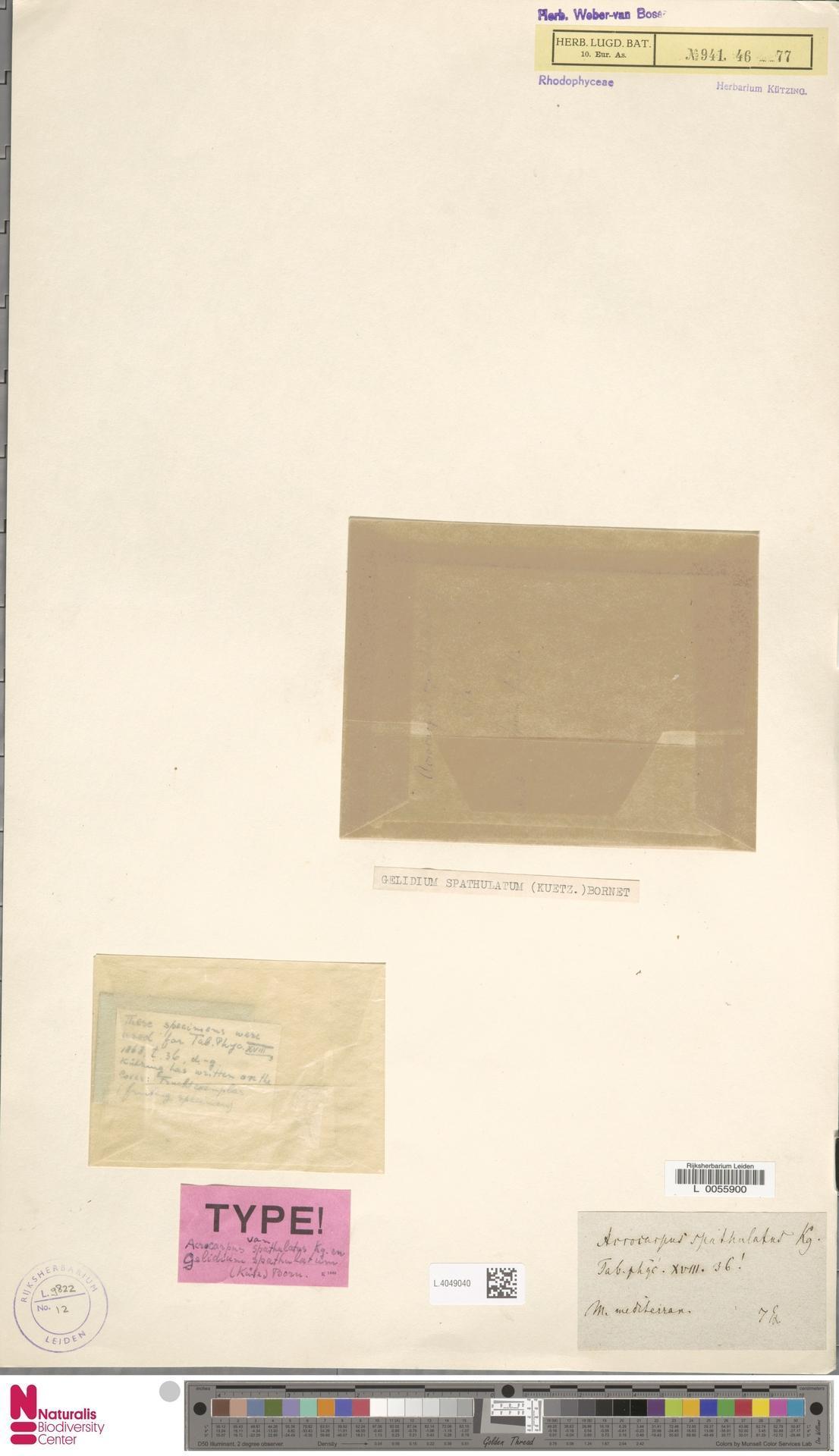 Image of Gelidium