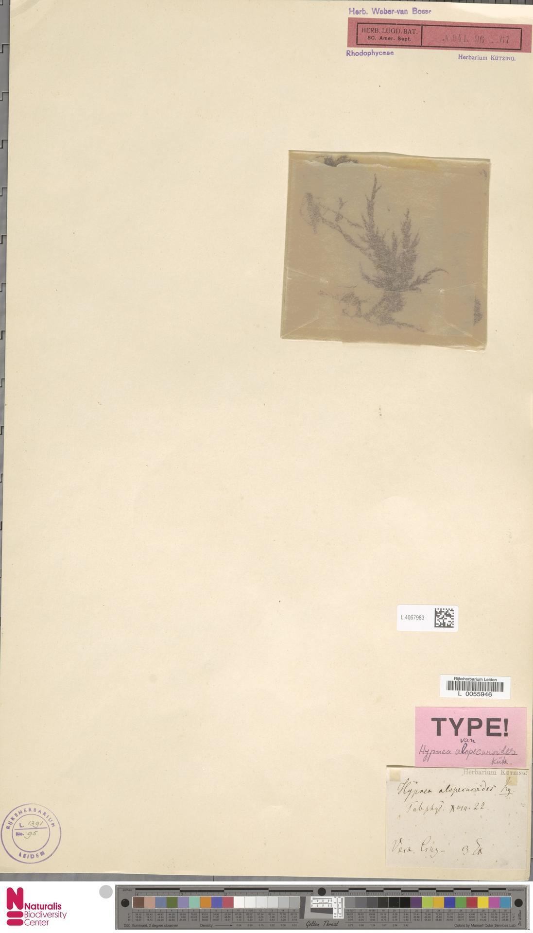 Image of Hypnea