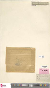 Image of Lemanea