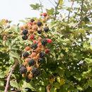 Image of European blackberry