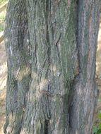 Image of five-stamen tamarisk