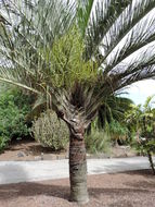 Image of Triangle palm