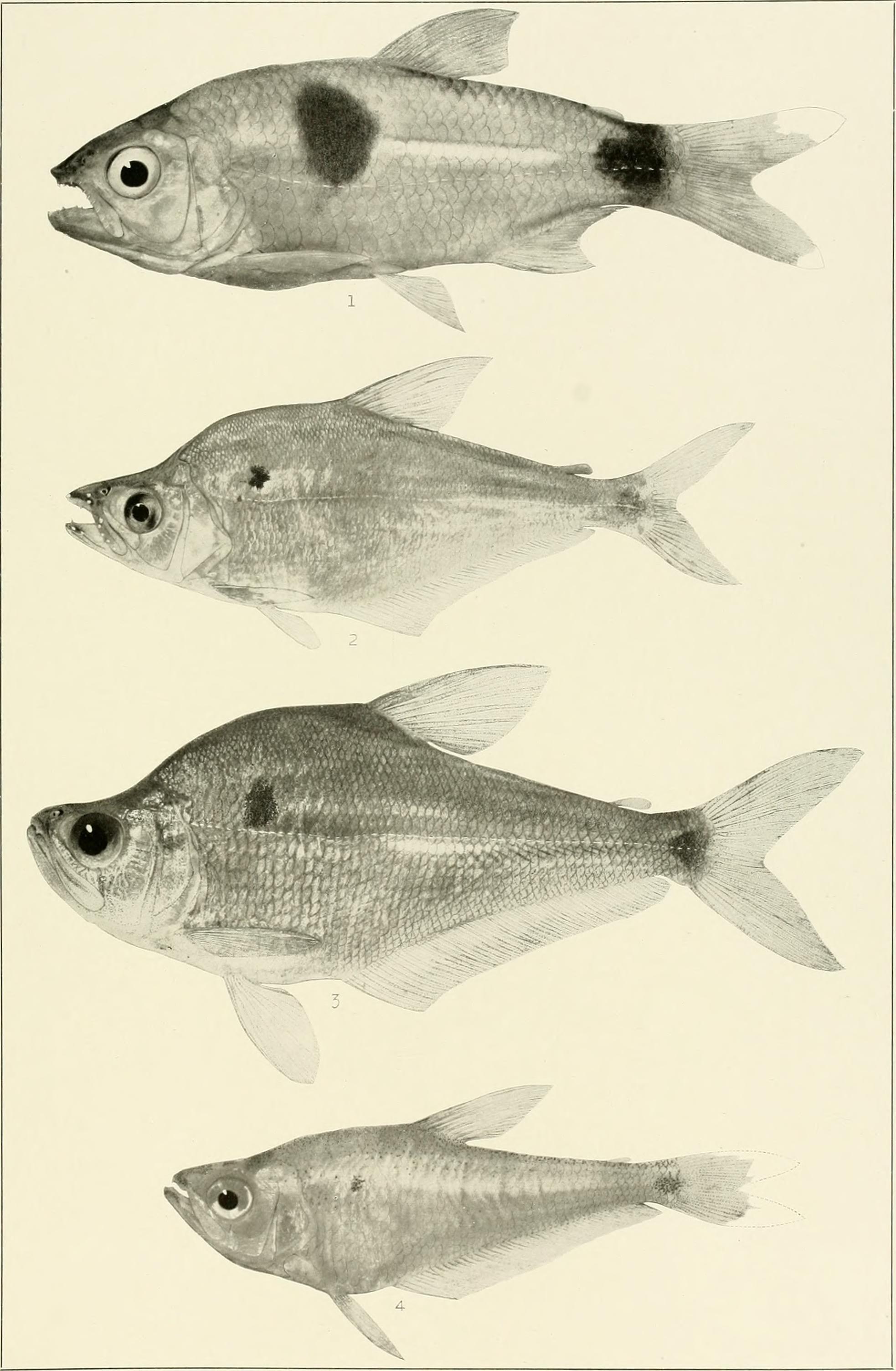 Image of Bucktooth tetra