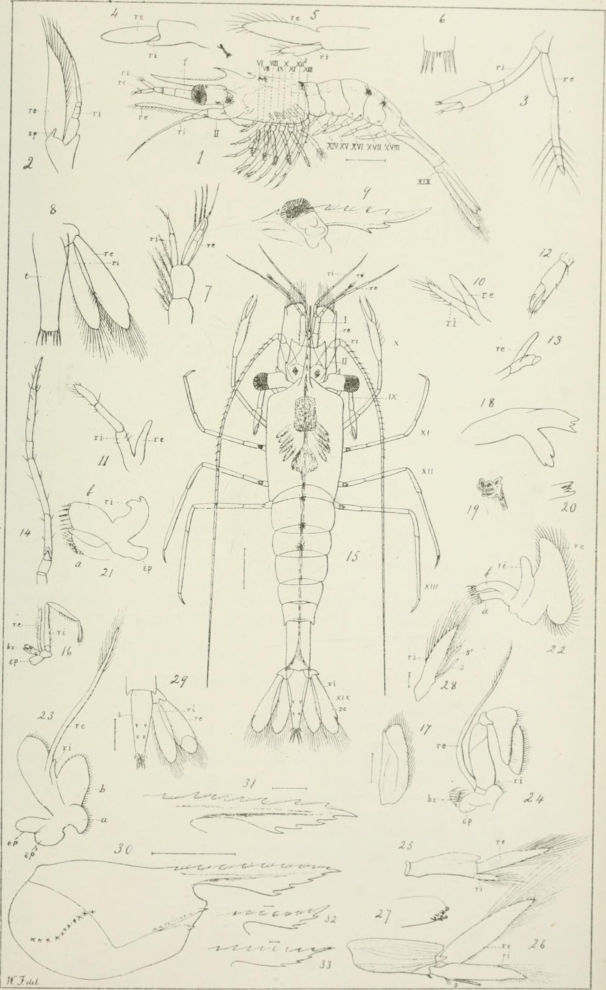 Image of Euglandina