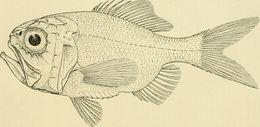 Image of <i>Hoplostethus intermedius</i> (Hector 1875)
