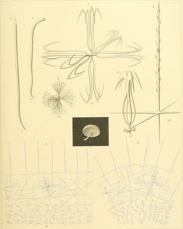 Image of <i><i>Caulophacus</i></i> (Caulophacus) <i>elegans</i> Schulze 1886