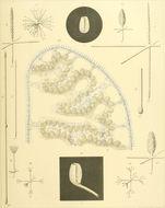 Image of Caulophacus