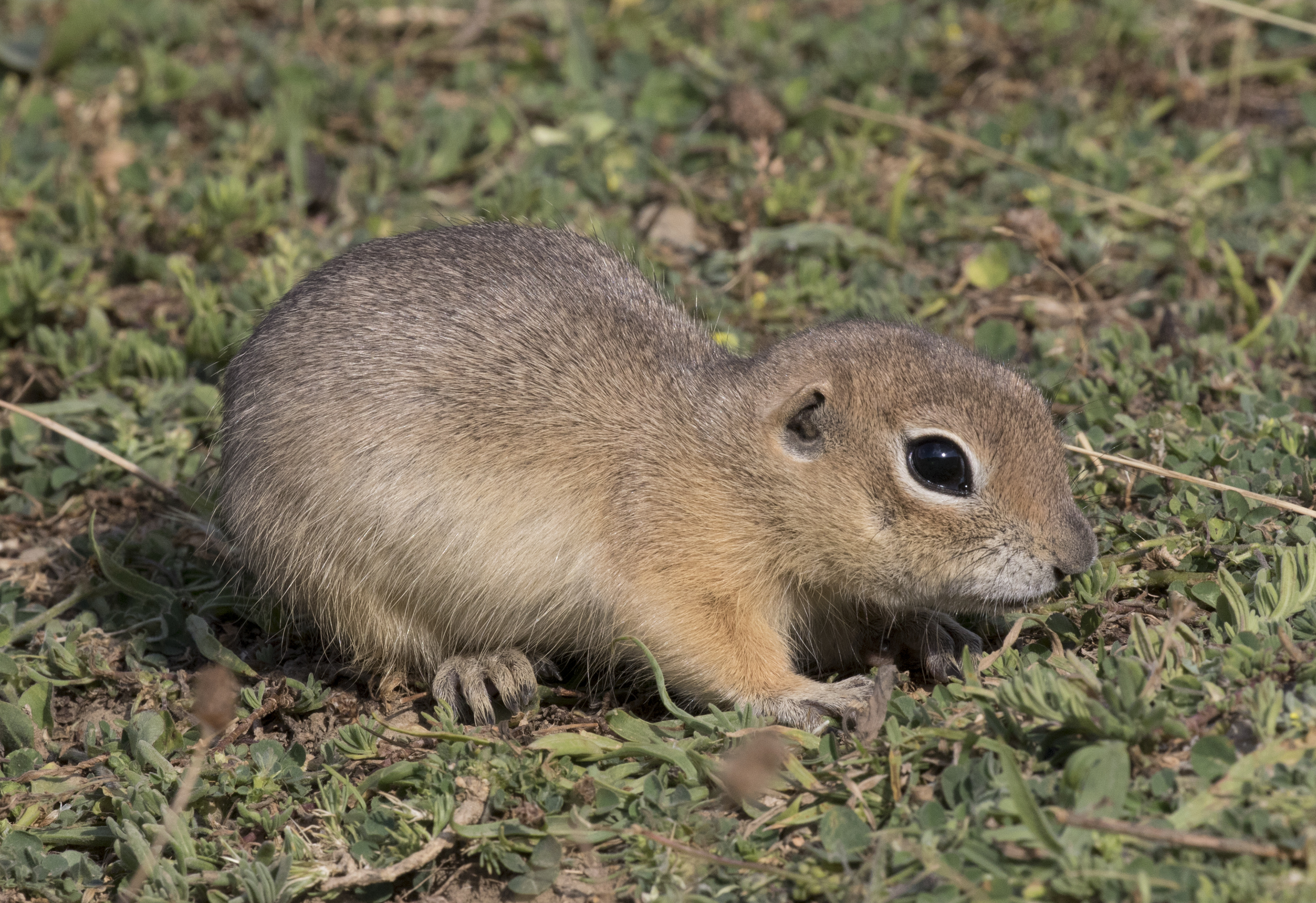 Image of Anatolian ground squirrel