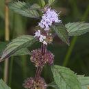 Image of <i>Mentha canadensis</i> L.