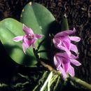 Image of Meiracyllium