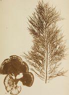 Image of <i>Padina pavonica</i>