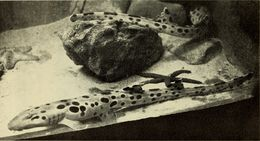 Image of Papuan Epaulette Shark