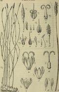 Image of Ecdeiocoleaceae