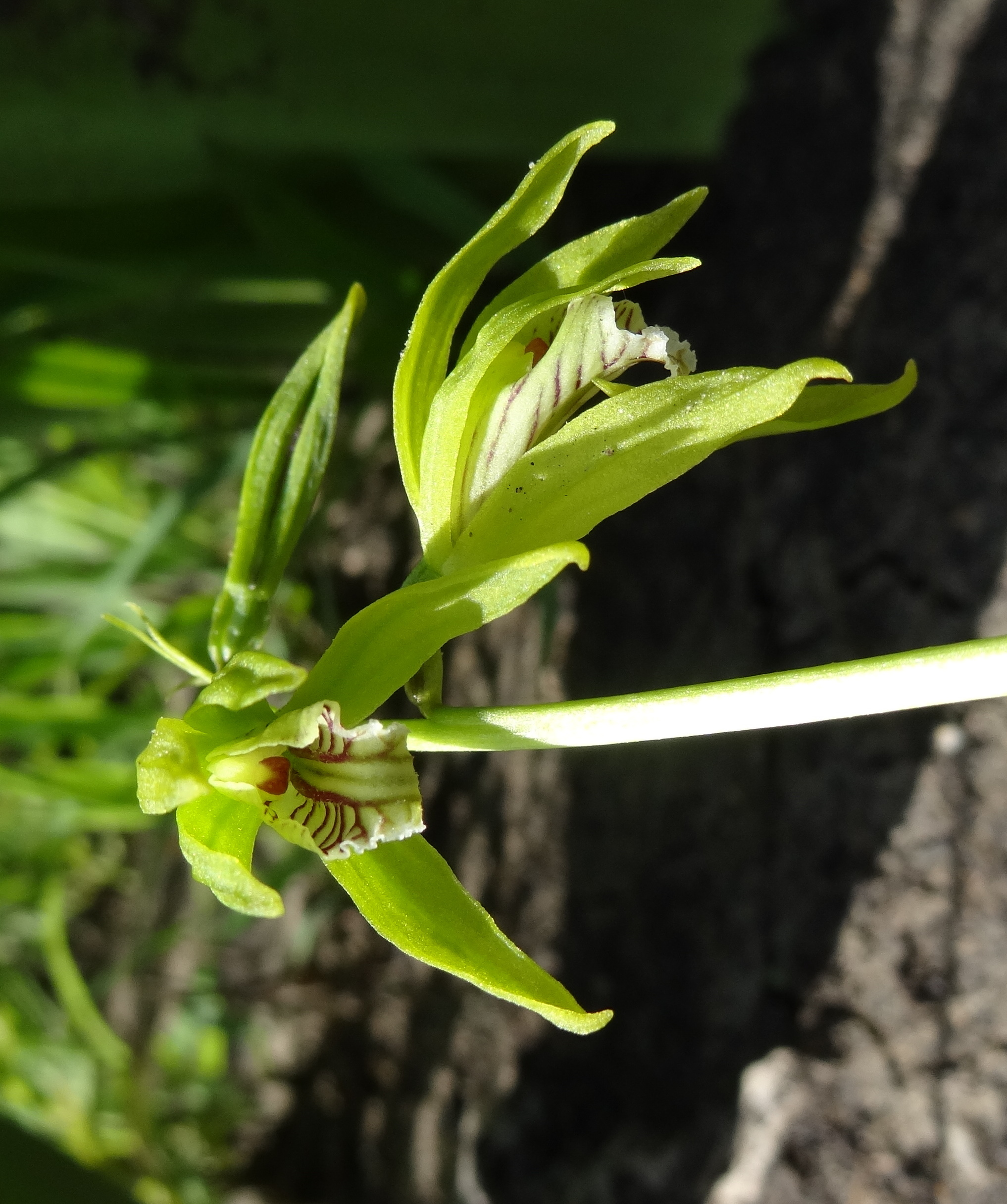 Image of Shield orchids