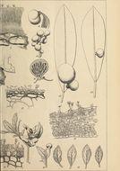 Image of Exobasidium