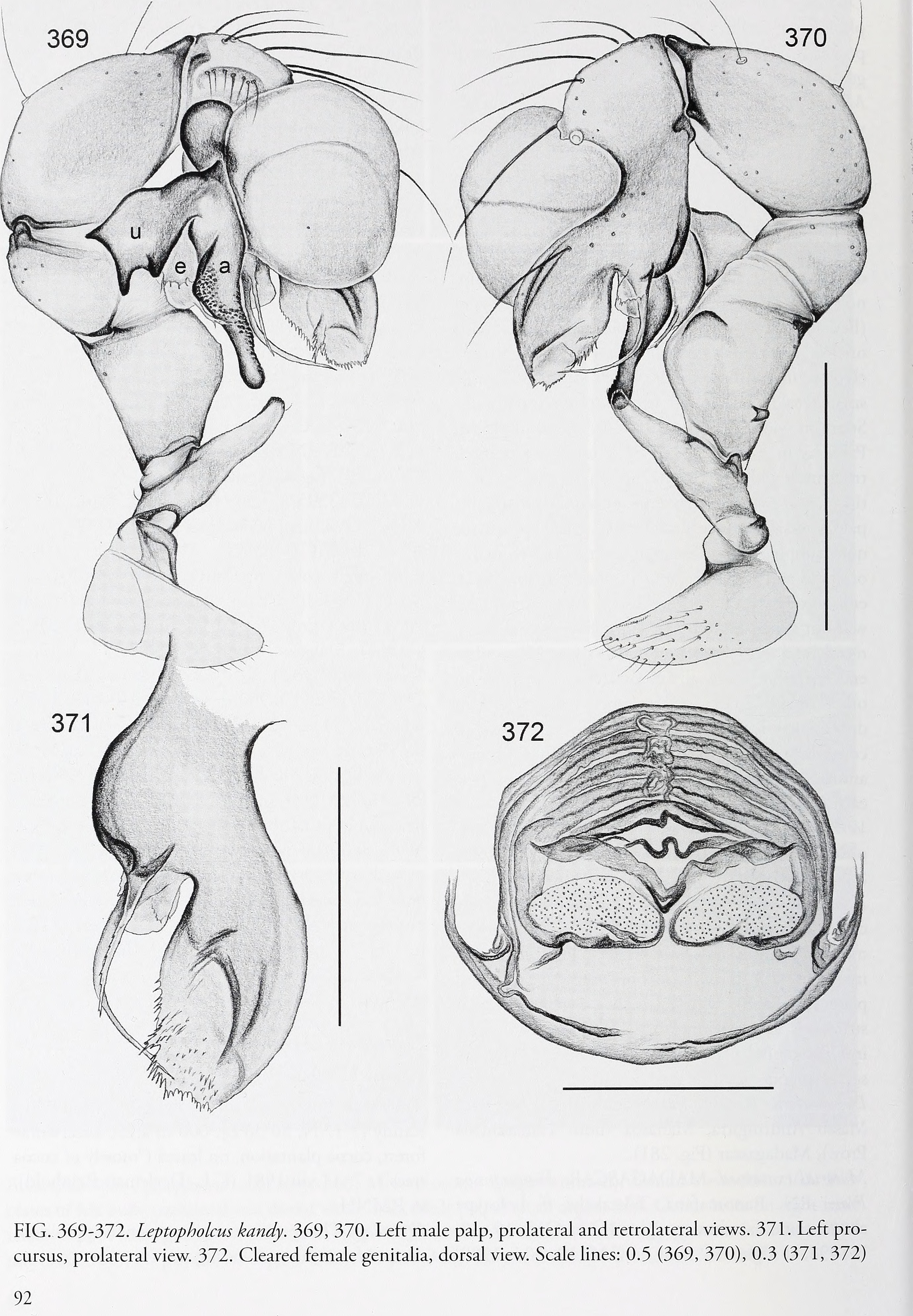 Image of Leptopholcus