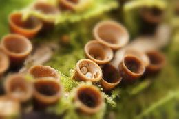 Image of Nidulariaceae