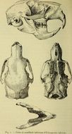 Image of Stump-tailed Porcupine